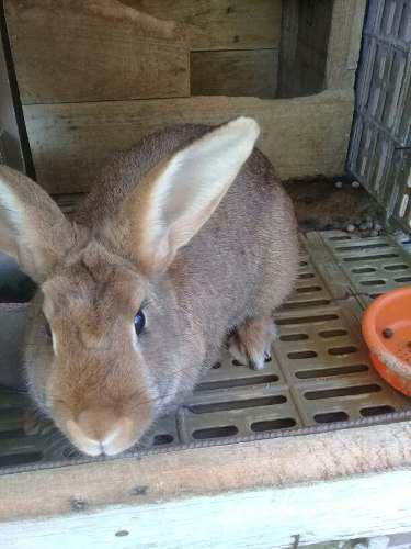 Conejos Mariposa Y Californiano 0