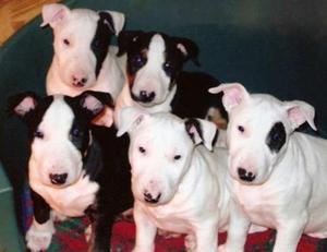 Cachorros bull terrier, entrega inmediata para navidad!!!