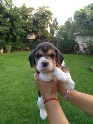 Beagles cachorros hermosos