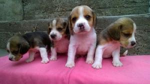 Beagles tricolor y bicolor