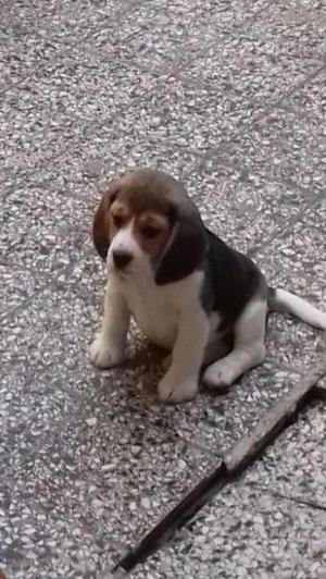 Cachorros beagles machos