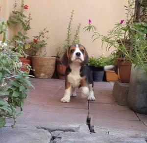 Preciosos cachorros beagles!