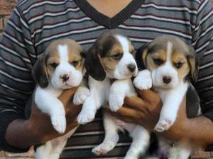cachorritos beagles 15-6813-9815