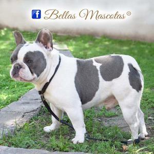 Macho bulldog frances servicio anuncios junio clasf - Bulldog frances gratis madrid ...