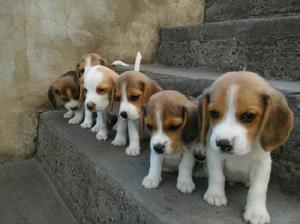Beagle hembra y macho