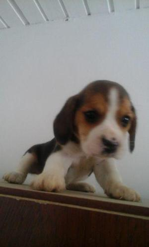 Excelentes cachorros beagle tricolor con papeles fca