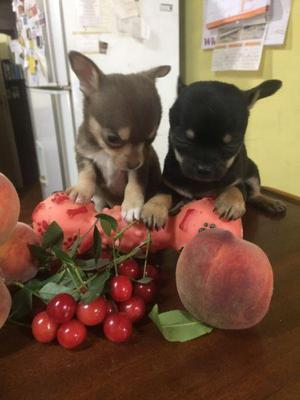 Chihuahuas mini mini hembras con fca