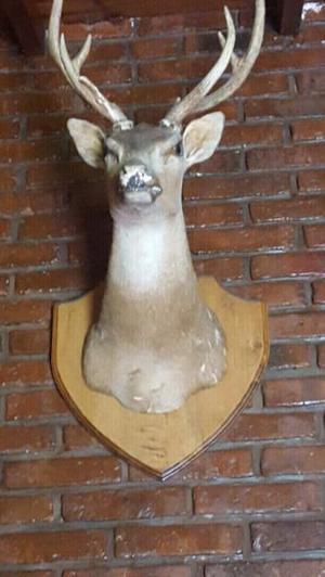 Trofeo de caza ciervo