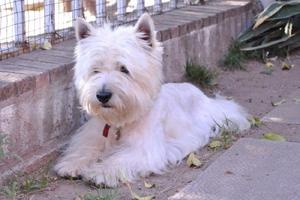 West highland white terrier (westy) - servicio de monta