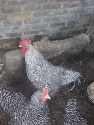Dos lotes de gallinas gallos y pollitos de razas puros