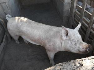Padrillos, cerdos, porcinos, puros yorkshire