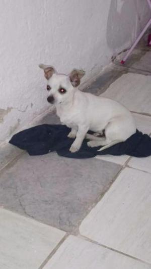 Chihuahua macho de 5 meses