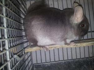 Chinchillas mascota o reproducción con jaula de regalo!!