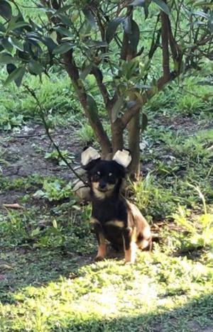 Chihuahuas pelo largo