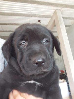 Cachorros labradores negros de 45 días desparasitados