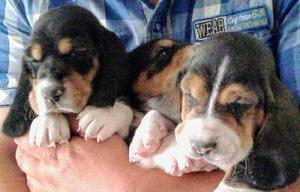 Perros basset hound (batatas) puros tricolor