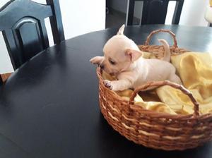 Chihuahua macho con papeles (pedigri) de bolsillo