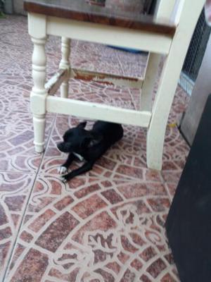Hembra chihuahua mini 7 meses fca