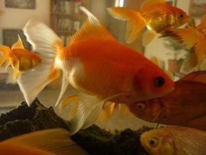 20 peces de agua fria de 3 a 4 cm a 600