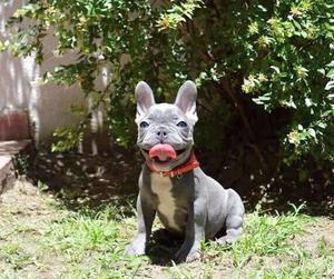 Bulldog Frances Blue En Córdoba Anuncios Marzo Clasf Animales