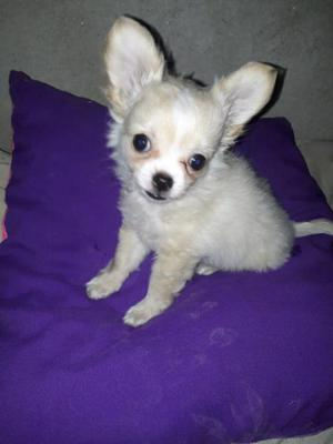 Chihuahua de bolsillo cabecita de manzana pelo largo 2machos