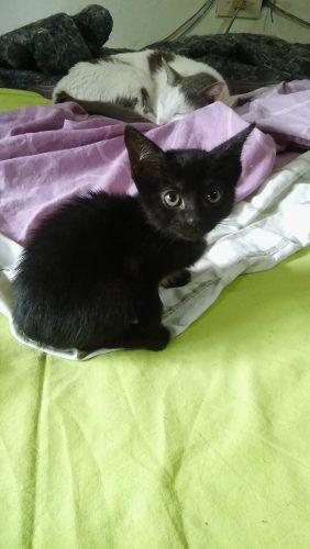 Gato gatito 2 meses