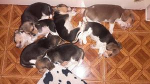 Cachorros beagle disponibles