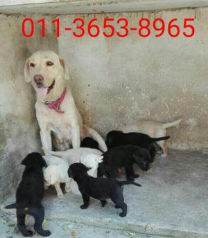 Se venden cachorros labradores retriever
