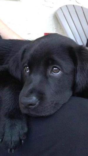 Cachorros labradores negros $1200