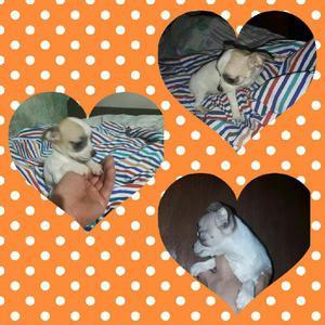 Chihuahua hembra 4 meses vac libreta s.