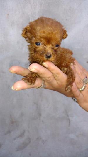 Caniche hembra roja micro toy!!!!!