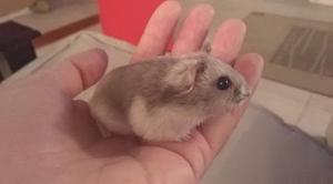 Hamsters rusos. oferta x este mes. mascota ideal!. criadero.
