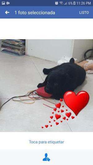 Cachorros labradores negros dorados