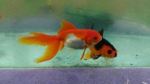 Orandas clasf for Criaderos de peces de agua fria
