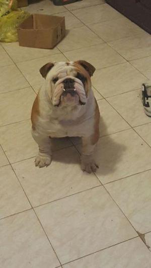 Servicio bulldog ingles macho. tronco