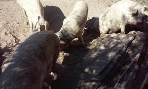 Vendo cerdos para chorizo y/o carneo