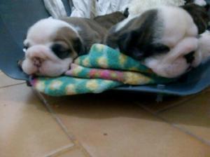 Bulldog ingles cachorros!!!