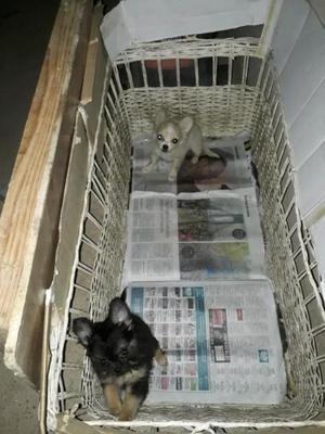 Chihuahua miniatura de pelo largo 2machos casi 3 meses