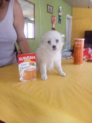 Chihuahua mini hembra