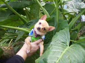 Chihuahua mini hembra macho