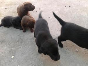 Vendo hermosos cachorros labradores negros y marrones padres