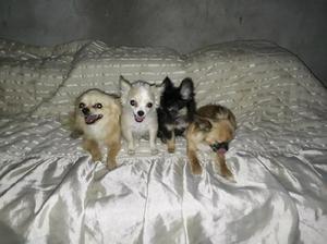 Chihuahua de bolsillo de pelo largo 2machos de 3 meses