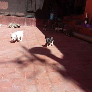 Cachorros pug carlino y bulldog frances machos