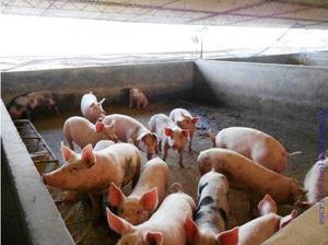 Vendo granja para cria y engorde de cerdos