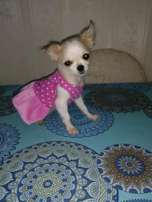 Chihuahua miniatura real