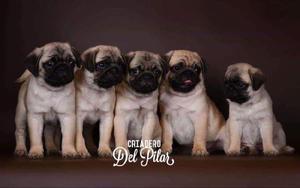 Hermosos cachorros pug carlinos papeles de pedigri.