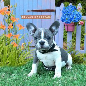 Bulldog frances blue y blanco ojos celestes hijo de merle!!!