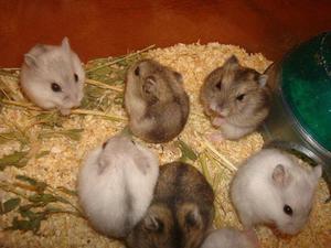 Vendo hamsters rusos bebes $100