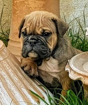 Imperdibles!!! cachorritas bulldog ingles