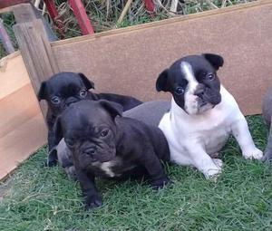 Vendo cachorros bulldogs francés